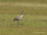 Kraanvogel - Common Crane - Grus grus