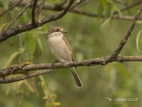 Grauwe Klauwier - Red-backed Shrike - Lanius collurio