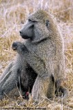 Savanna Baboon, Nairobi 1132