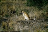 Cheetah, Nairobi 2412