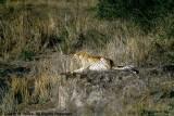Cheetah, Nairobi 2413