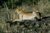 Cheetah, Nairobi 2415