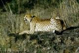 Cheetah, Nairobi 2418