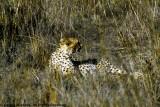 Cheetah, Nairobi 2419