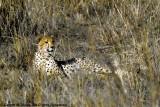 Cheetah, Nairobi 2420
