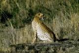 Cheetah, Nairobi 2421
