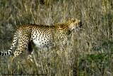 Cheetah, Nairobi 24427