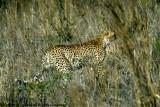 Cheetah, Nairobi 2428