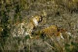 Cheetah, Nairobi 2431
