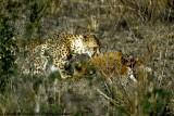 Cheetah, Nairobi 2432