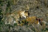 Cheetah, Nairobi 2436