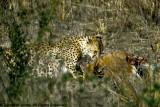 Cheetah, Nairobi 2437