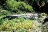 Nile Crocodile, Nairobi 030528