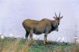 Common Eland, Nairobi 030619