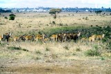 Common Eland, Nairobi 0601