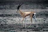 Garnt's Gazelle, Nairobi 040123