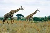 Masai Giraffe, Nairobi 0601