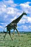 Masai Giraffe, Nairobi 2117