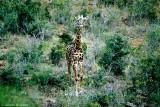 Masai Giraffe, Nairobi 2122