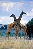 Masai Giraffe, Nairobi 2315
