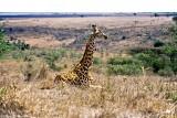 Masai Giraffe, Nairobi 2322