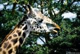 Masai Giraffe, Nairobi 2327