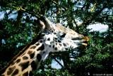 Masai Giraffe, Nairobi 2328