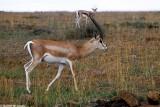 Gazelle, Nairobi 0134