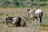 Wildebeest, Nairobi 0118