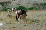 Wildebeest, Nairobi 0120