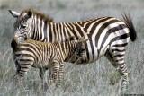 Zebra, Nairobi 0102