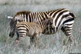 Zebra, Nairobi 0104
