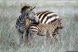 Zebra, Nairobi 0109