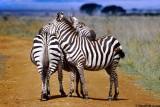 Zebra, Nairobi 0111