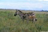 Zebra, Nairobi 0114
