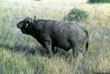Buffalo, Nairobi 0218