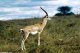 Gazelle, Nairobi 0202