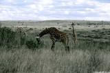 Giraffe, Nairobi 0112