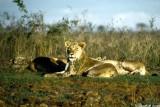 Lion, Nairobi 0228