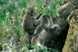 Baboon, Nairobi 0326