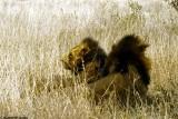 Lion, Nairobi 0412