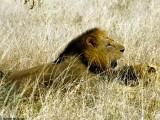 Lion, Nairobi 0425