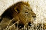Lion, Nairobi 0430