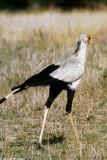 Secretary Bird, Nairobi 0407