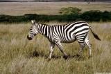 Zebra, Nairobi 0410