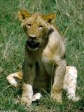 Lion, Nairobi 0502