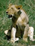 Lion, Nairobi 0503