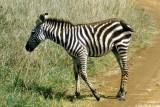 Zebra, Nairobi 0518