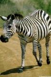 Zebra, Nairobi 0521