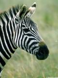 Zebra, Nairobi 0524